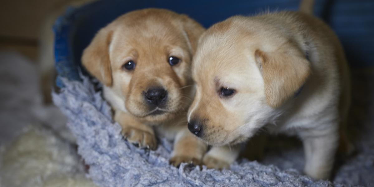 Herzlich Willkommen - two yellow puppies - 4 weeks old