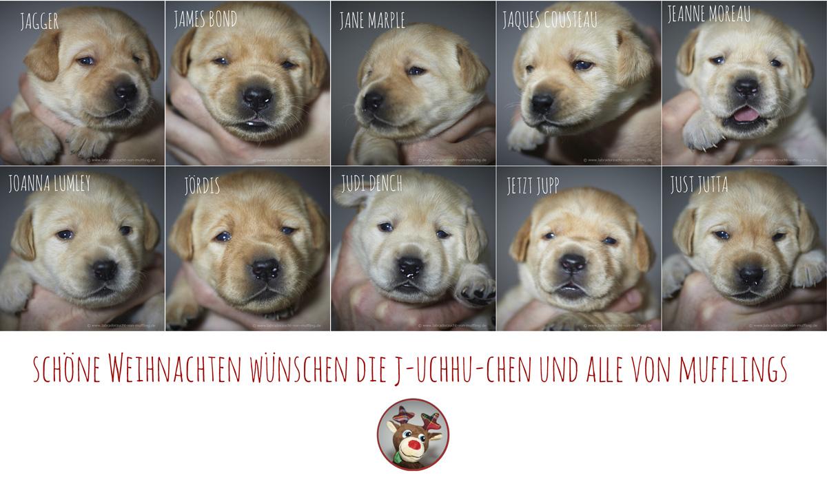 Geschickt kombiniert - yellow Labrador puppies 16 days old