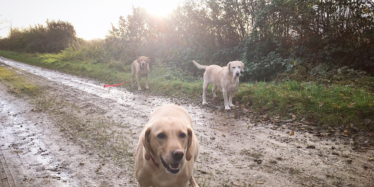 Yellow labs in back light
