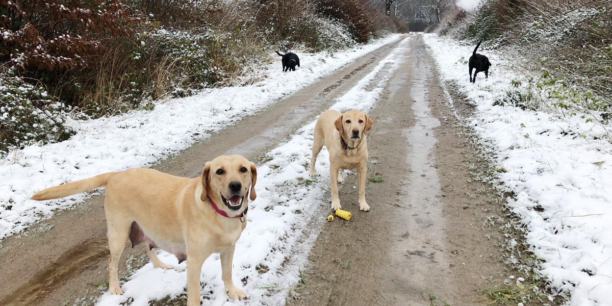 Ida will Ausgang - a group of Labrador Retriever in the snow