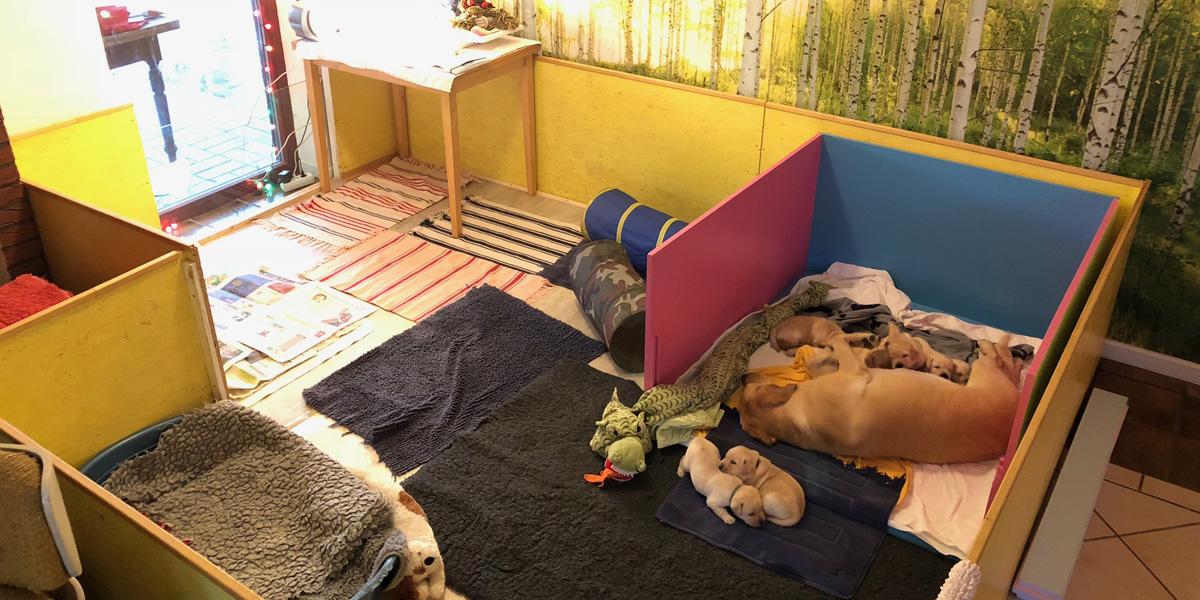 Umzug ins Welpen-Palais - Labrador puppies, 3 weeks old
