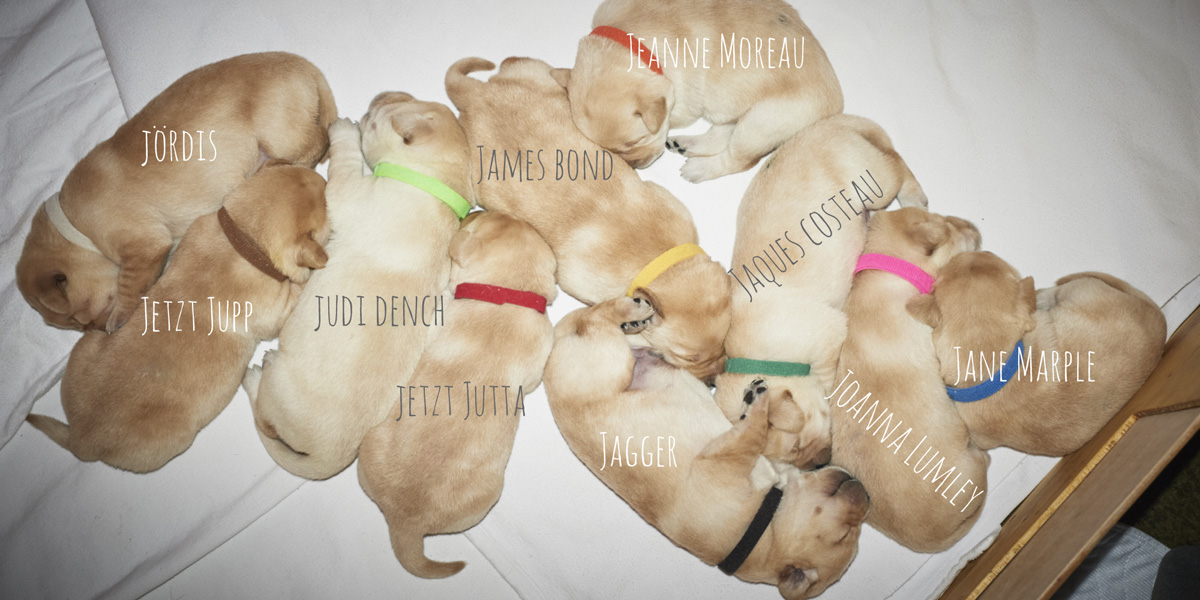 Jetzt mit Wiedererkennung - yellow Labrador Retriever puppies, 10 days old
