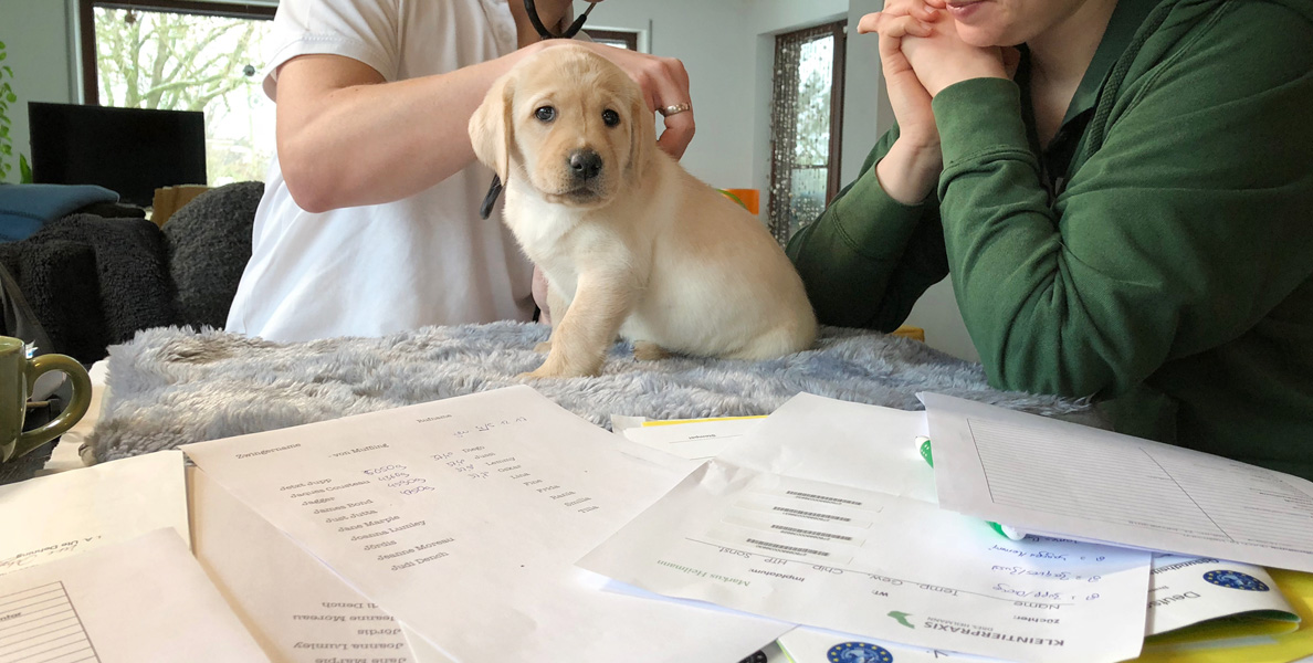 Gesundheits-Check - yellow lab puppy getting checked by the vet