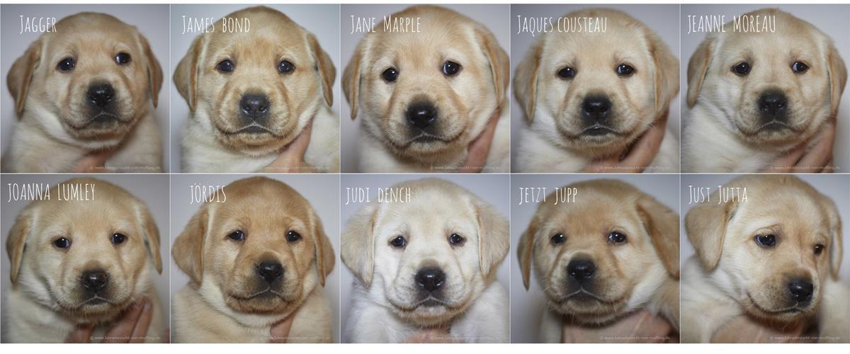 Einzelportraits, fünfte Woche - yellwo labrador puppies 5 weeks old
