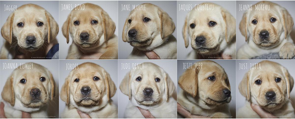 Die neuen Einzelportraits aus Woche sieben - portraits of yellow lab puppies seven weeks old