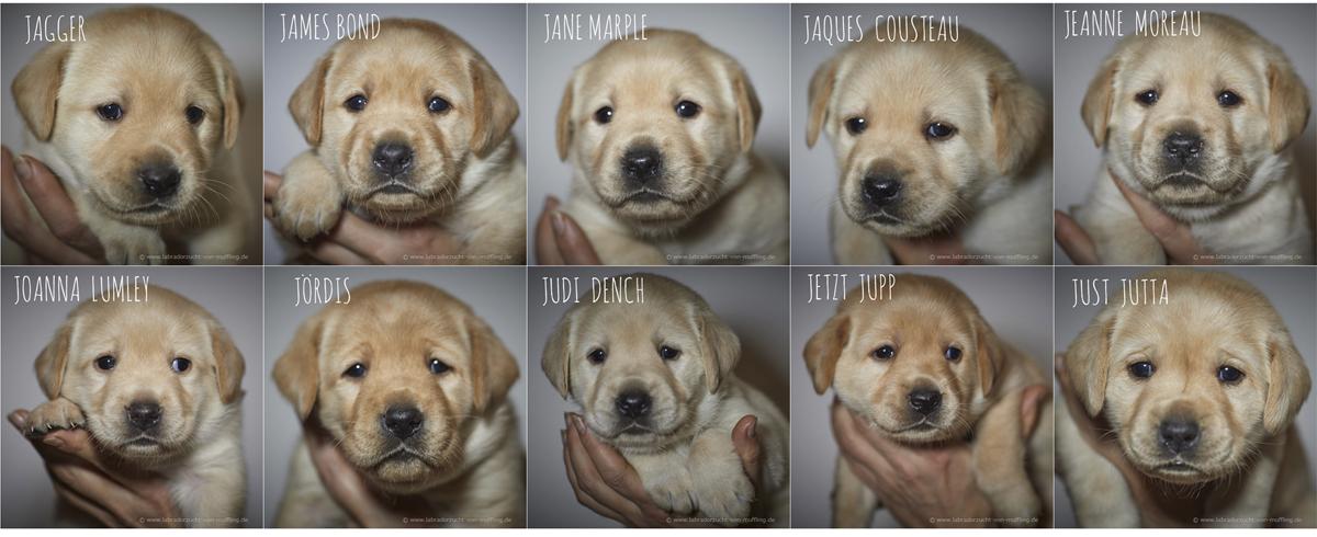 Die süßen Schnuten - Einzelportraits 4. Woche - yellow Labrador puppies 4 weeks old