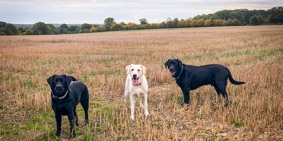 Two black labs and a yellow lab on field in autumn 2018
